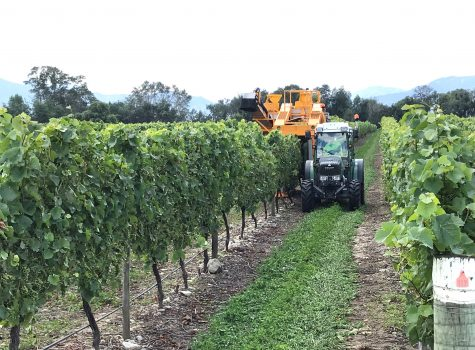 Vine Trimming Vineyard Marlborough